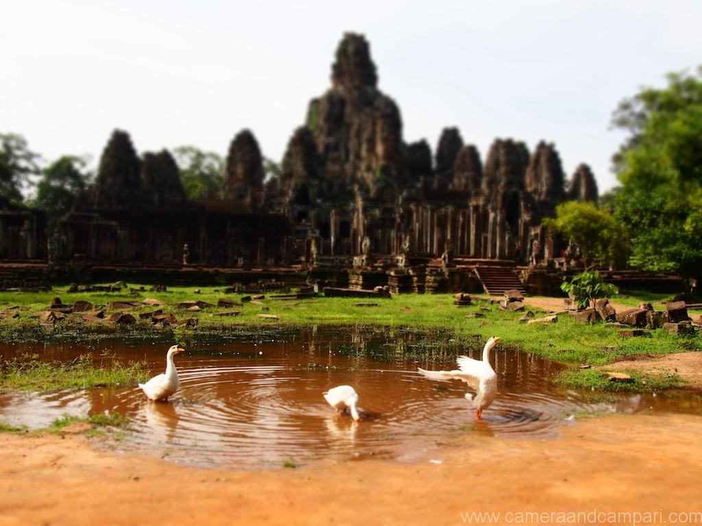 Geese outside Ankor Wat , Siem Reap, Cambodia